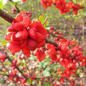 Chaenomeles Superba Clementine (Flowering Quince)