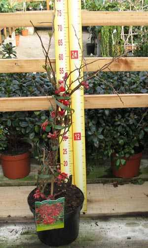 Chaenomeles Superba Fascination (Flowering Quince)