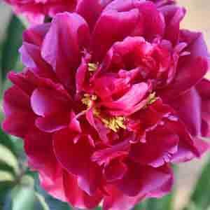 Peony (Paeonia) Suffruticosa Chinese Tree Peony Yan Zi Xiang Yang