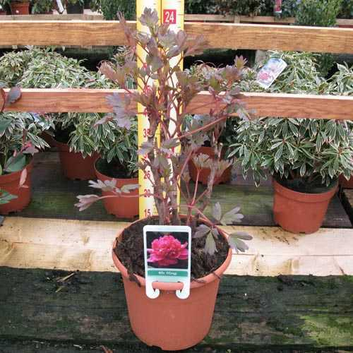 Peony Paeonia Suffruitcosa 'Hu Hong'