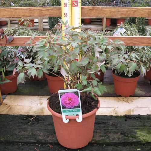 Peony (Paeonia) Suffruticosa Chinese Tree Peony Rou Fu Rong 6 Litre Pot