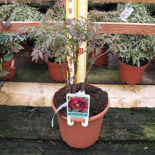 Peony (Paeonia) Suffruticosa Wu Jin Yao Hui Chinese Tree Peony 6 Litre Pot