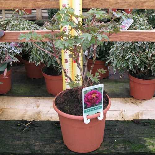 Peony (Paeonia) Suffruticosa Chinese Tree Peony Luo Yang Hong