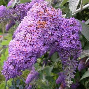 Buddleia Davidii Lochinch (Butterfly Bush)