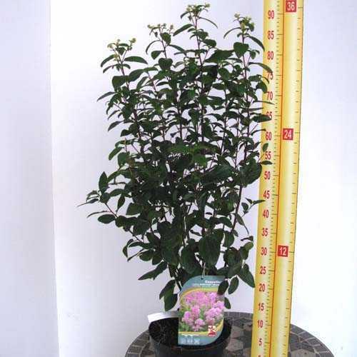 Ceanothus x Pallidus Marie Rose 'Minmarose' (Calafornian Lilac)