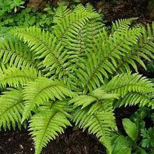Fern Polystichum Polyblepharum Jade (Bristle Fern Tassel Fern)