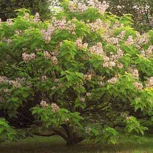 Catalpa Bignonioides Aurea (Indian Bean Tree) 12ltr