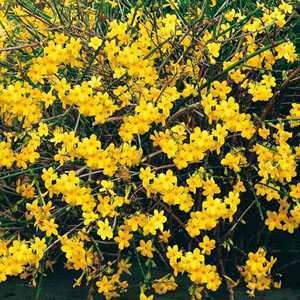 Jasminum Nudiflorum (Winter Flowering Jasmine) 80-100cm 3Ltr