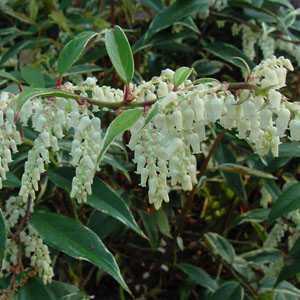 Leucothoe Fontanesiana Whitewater