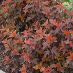 Physocarpus Opulifolius Diable D'Or (Ninebark) 3.5Ltr