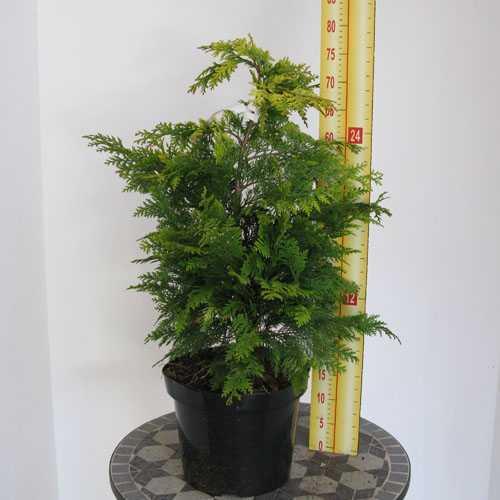 Chamaecyparis lawsoniana Ivonne (Lawson Cypress) 60cm 7.5Ltr