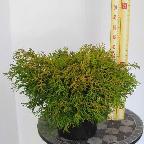 Chamaecyparis Obtusa Kamarachiba 30-40cm 7.5Ltr