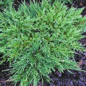 Juniperus (Juniper) Horizontalis Andorra Compacta 40-50cm 7.5Ltr