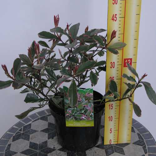 Photinia x Fraseri Pink Marble Cassini Hedging 3.6 Ltr