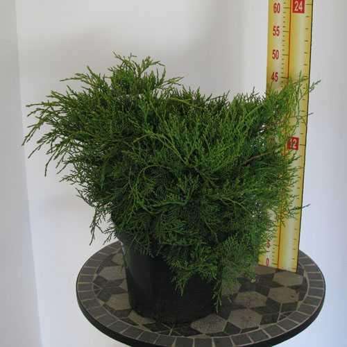 Juniperus (Juniper) Pfitzeriana Gold Coast 50cm 7.5Ltr