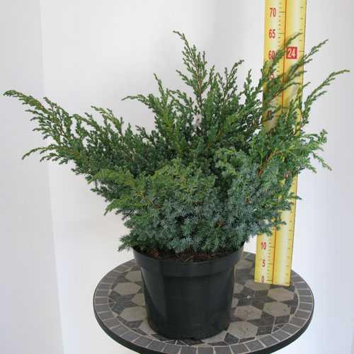 Juniperus (Juniper) Squamata Blue Swede Conifer