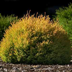 Thuja Occidentalis Rheingold (White Cedar)