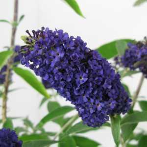 Buddleia Davidii Adonis Blue (Buddleja) Butterfly Bush