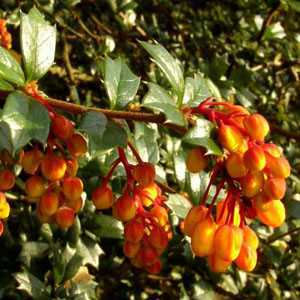 Berberis Darwinii Nana (Barberry Hedging)