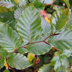 Beech (Green) Hedging Fagus Sylvatica