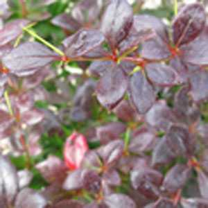 Berberis (Barberry) Media Red Jewel (Hedging)