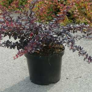 Berberis Thunbergii Dart's Red Lady (Barberry Hedging)
