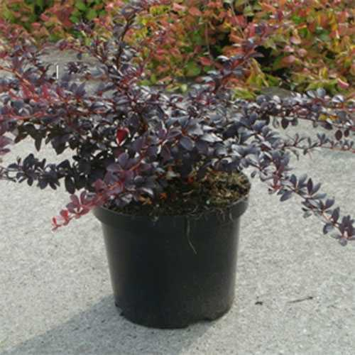 Berberis Thunbergii Dart's Red Lady (Barberry Hedging) 3.5Ltr