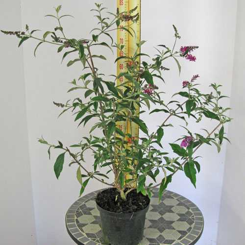 Buddleia Davidii Miss Ruby (Buddleja) Butterfly Bush 3.5Ltr