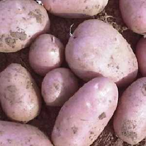 Unwins Seed Potatoes Robinta Organic (Maincrop) 6 Per Pack