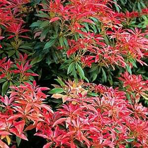 Pieris Japonica 'Forest Flame' Lily of the Valley Shrub