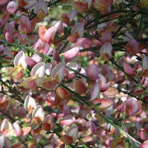 Cytisus Zeelandia (Broom) 10ltr