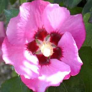Cheap Hibiscus Syriacus Pink Giant Buy Hibiscus Shrubs Pink