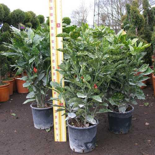 Aucuba Japonica Crotonifolia (Spotted Laurel Hedge)