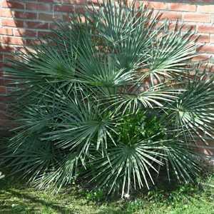 Chamaerops Humilis Cerifera (Blue Mediteranean Fan Palm) 15ltr