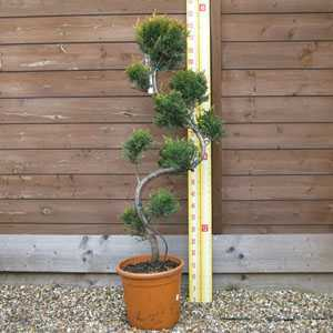 Cupressocyparis Leylandii (Cloud Tree) 10 Litre Pot