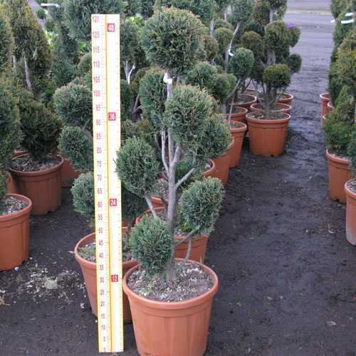 Cupressocyparis Leylandii 'Cloud Tree' 100/120 Height 18-25 Litre Pot