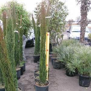 Cupressus sempervirens Pyramidalis Totem (Conifer) 160cm - 1.80cm Height 15Litre Pot