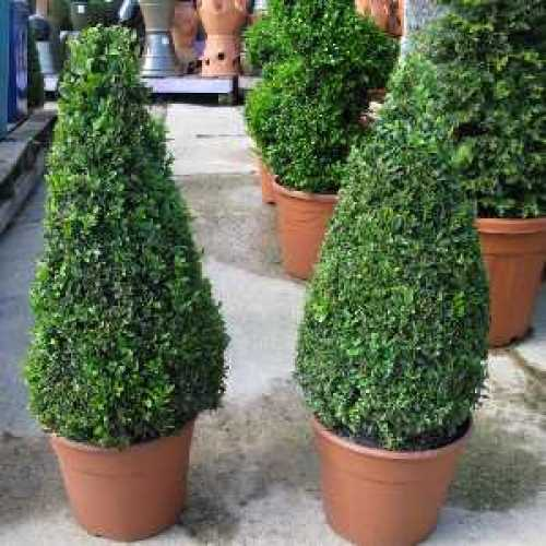Buxus Sempervirens Pyramid/Cone (Box Hedge/Topiary Plant) 60-70cm Plant Height Set of 2 10Ltr