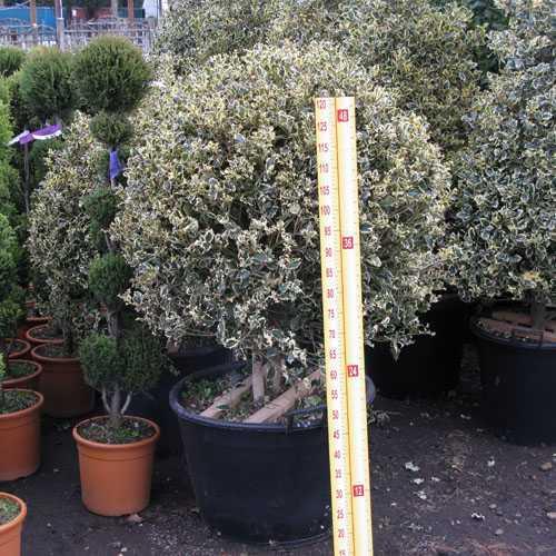 Ilex aquifolium Argentea Variegata (Silver Variegated English Holly) Ball 80/100 75 Ltr Pot