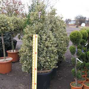 Ilex aquifolium Argentea Variegata (Silver Variegated English Holly) Cone/Pyramid 150cm Height 70-90 Ltr Pot