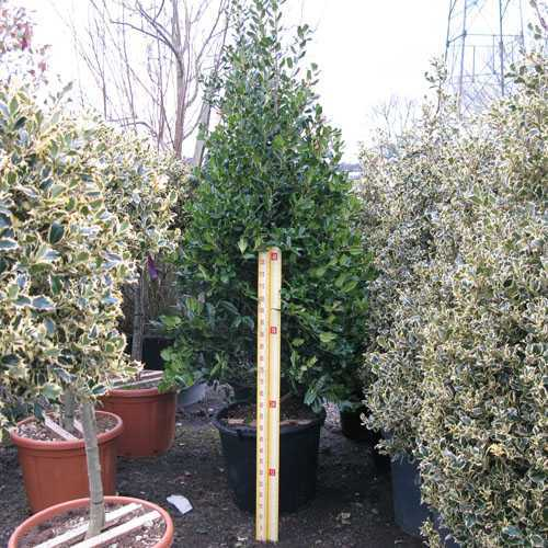 Ilex Nellie Stevens (Cone) 150-175cm Height 90 Litre Pot