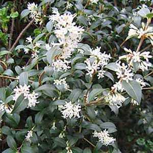 Osmanthus x burkwoodii (Burkwood)