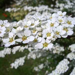 Spiraea Thunbergii (Bridal Wreath) 3.5Ltr