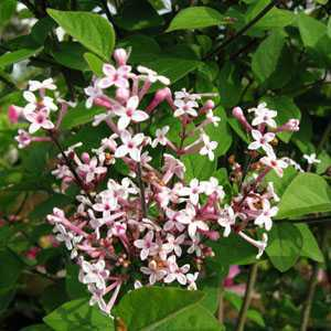 syringa microphylla superba lilac superba 12ltr. Black Bedroom Furniture Sets. Home Design Ideas
