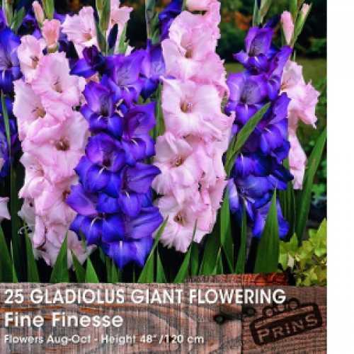 Gladioli Giant Flowering 'Fine Finesse' Bulbs 25 Per Pack