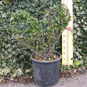 Ligustrum Jonandrum (Delavayanum) Topiary Heart Shaped Privet  5 Litre Pot