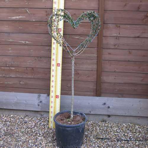 Ligustrum Jonandrum (Delavayanum) Topiary Heart Shaped Privet (Standard) 10 Litre Pot