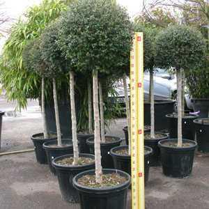 Ligustrum Jonandrum (Delavayanum) Topiary 1/2 Standard Privet 35-40cm 25 Litre Pot