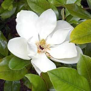 Magnolia Grand Gallisoniensis 100-125cm Height 25 Litre Pot