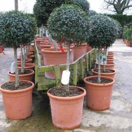 Ligustrum delavayanum Topiary (Privet) 1/4 Standard 35cm+ 18.5ltr Pot